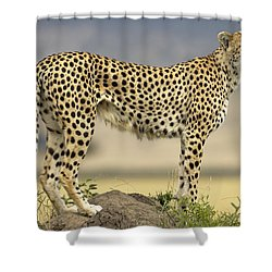 Cheetah Acinonyx Jubatus On Termite Shower Curtain by Winfried Wisniewski
