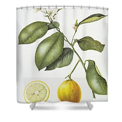 Citrus Bergamot Shower Curtain by Margaret Ann Eden