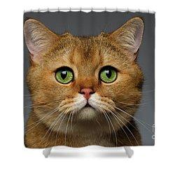 Closeup Golden British Cat With  Green Eyes On Gray Shower Curtain by Sergey Taran