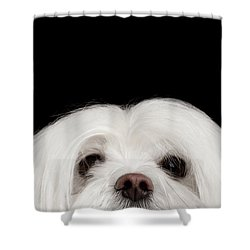 Closeup Nosey White Maltese Dog Looking In Camera Isolated On Black Background Shower Curtain by Sergey Taran