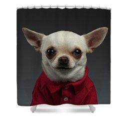 Closeup Portrait Chihuahua Dog In Stylish Clothes. Gray Background Shower Curtain by Sergey Taran