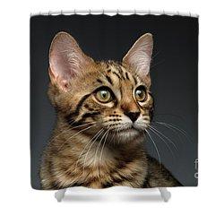 Closeup Portrait Of Bengal Male Kitty On Dark Background Shower Curtain by Sergey Taran
