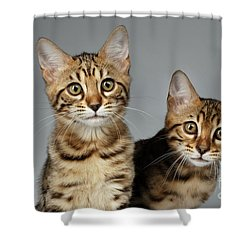 Closeup Portrait Of Two Bengal Kitten On White Background Shower Curtain by Sergey Taran