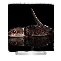 Closeup Red-eyed Crocodile Skink, Tribolonotus Gracilis, Isolated On Black Background Shower Curtain by Sergey Taran