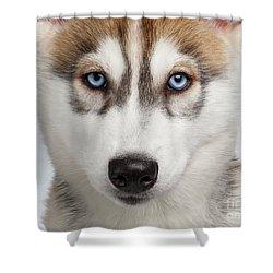 Closeup Siberian Husky Puppy With Blue Eyes On White  Shower Curtain by Sergey Taran