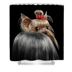 Closeup Yorkshire Terrier Dog, Long Groomed Hair Pity Looking Back Shower Curtain by Sergey Taran