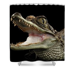 Closeup Young Cayman Crocodile, Reptile With Opened Mouth Isolated On Black Background Shower Curtain by Sergey Taran