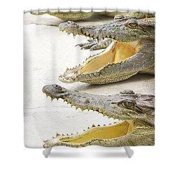 Crocodile Choir Shower Curtain by Jorgo Photography - Wall Art Gallery