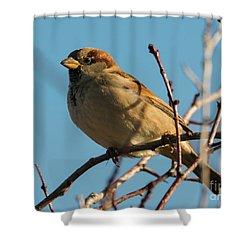 Female House Sparrow Shower Curtain by Mike Dawson