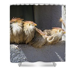 Four Stooges - Guira Cuckoos Shower Curtain by Gary Whitton