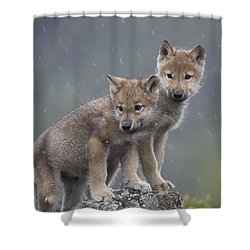 Gray Wolf Canis Lupus Pups In Light Shower Curtain by Tim Fitzharris