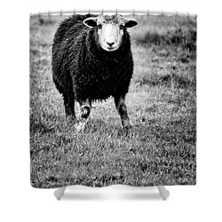 Herdwick Sheep Shower Curtain by Meirion Matthias