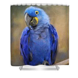 Hyacinth Macaw  Shower Curtain by Jai Johnson