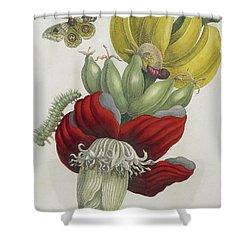 Inflorescence Of Banana, 1705 Shower Curtain by Maria Sibylla Graff Merian