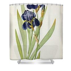 Iris Germanica Shower Curtain by Pierre Joseph Redoute