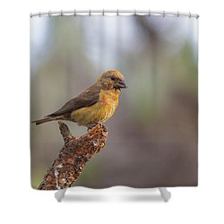 Juvenile Male Red Crossbill Shower Curtain by Doug Lloyd