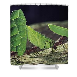 Leafcutter Ant Atta Cephalotes Workers Shower Curtain by Mark Moffett