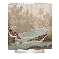 Little Sandpiper Shower Curtain by John James Audubon