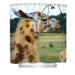 Llama Shower Curtain by Jai Johnson