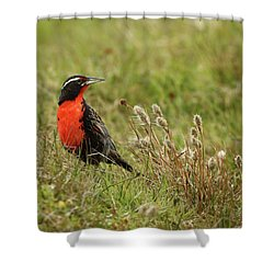Long-tailed Meadowlark Shower Curtain by Bruce J Robinson