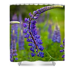 Lupine Curves Shower Curtain by Susan Cole Kelly