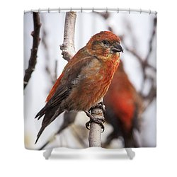 Male Red Crossbills Shower Curtain by Robert Potts