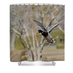 Mallard Approach Shower Curtain by Mike  Dawson