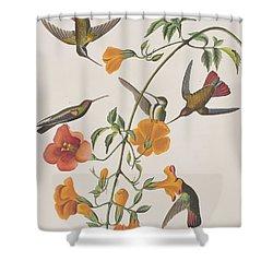 Mango Humming Bird Shower Curtain by John James Audubon