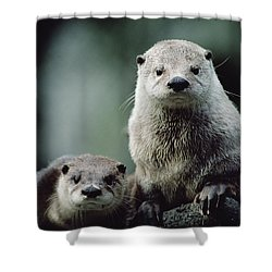North American River Otter Lontra Shower Curtain by Gerry Ellis