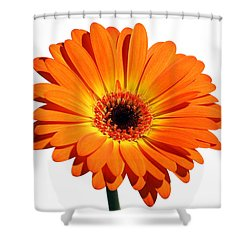 Orange Gerber Daisy Perfection Shower Curtain by Juergen Roth