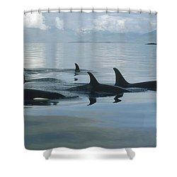 Orca Pod Johnstone Strait Canada Shower Curtain by Flip Nicklin