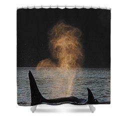 Orcas Ocinus Orca Spouting Alaska Shower Curtain by Hiroya Minakuchi