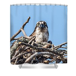 Osprey Eyes Shower Curtain by Paul Freidlund