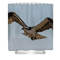 Osprey Flying Shower Curtain by Paul Freidlund