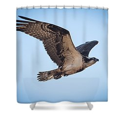 Osprey In Flight Shower Curtain by Paul Freidlund
