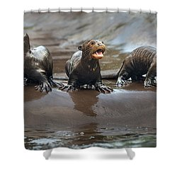 Otter Pup Triplets Shower Curtain by Jamie Pham