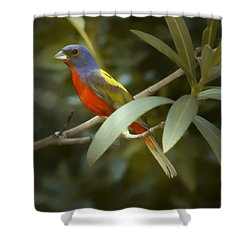 Painted Bunting Male Shower Curtain by Phill Doherty