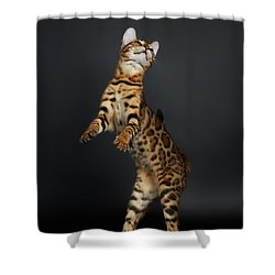 Playful Female Bengal Cat Stands On Rear Legs Shower Curtain by Sergey Taran