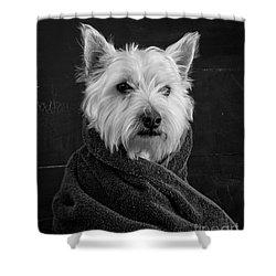 Portrait Of A Westie Dog Shower Curtain by Edward Fielding