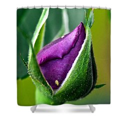 Purple Rose Bud Shower Curtain by Christopher Holmes