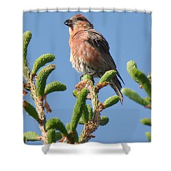 Red Crossbill Shower Curtain by Alan Lenk