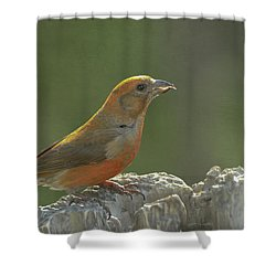 Red Crossbill Shower Curtain by Constance Puttkemery