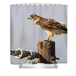 Red Tailed Hawk Perched Shower Curtain by Robert Frederick