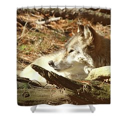 Resting Wolf Shower Curtain by Karol Livote
