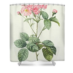 Rosa Centifolia Caryophyllea Shower Curtain by Pierre Joseph Redoute