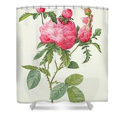 Rosa Centifolia Prolifera Foliacea Shower Curtain by Pierre Joseph Redoute