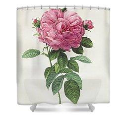 Rosa Gallica Flore Giganteo Shower Curtain by Pierre Joseph Redoute