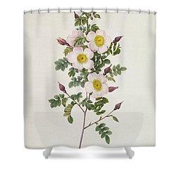 Rosa Pimpinelli Folia Inermis Shower Curtain by Pierre Joseph Redoute