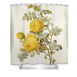 Rosa Sulfurea Shower Curtain by Pierre Redoute