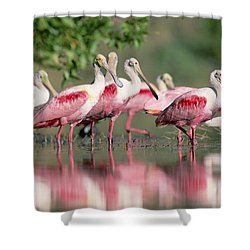 Roseate Spoonbill Flock Wading In Pond Shower Curtain by Tim Fitzharris
